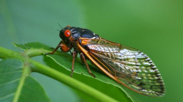 From car crashes to plane delays, cicadas wreaking havoc by the billions